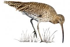 Grosser-Brachvogel